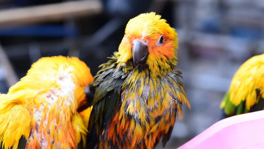 Sun Conures in The Wild Sun Conure Parrot Sun Conure