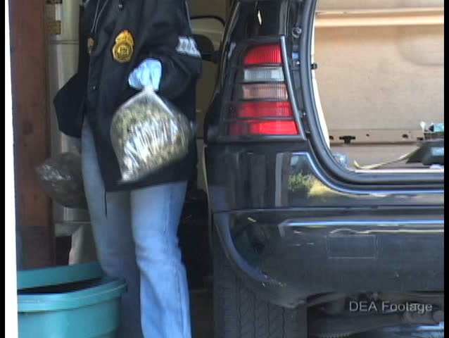 CIRCA 2000s - DEA agents confiscate marijuana plants from a home during a raid.