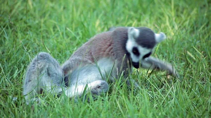 Video clip of ring-tailed lemur (Lemur Catta) eating in the grass.