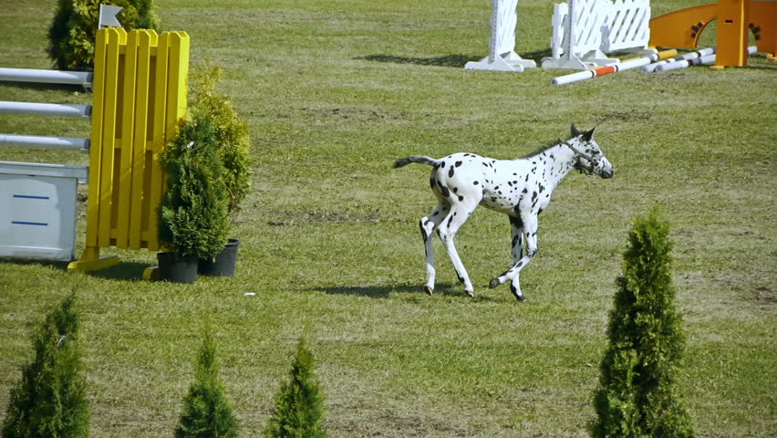 HD - Foal on the show jumping course - HD stock video clip