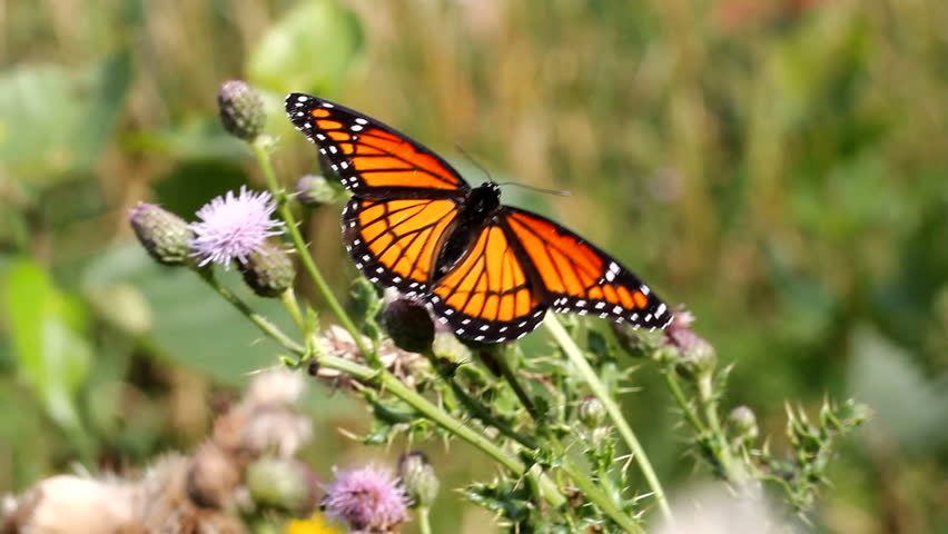 monarch butterfly - HD stock footage clip