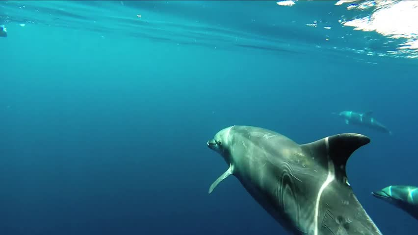 Bottle-nose dolphins swimming underwater off the coast of Catalina Island