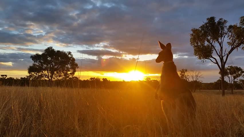 Kangaroo Sunset Australia Landscape