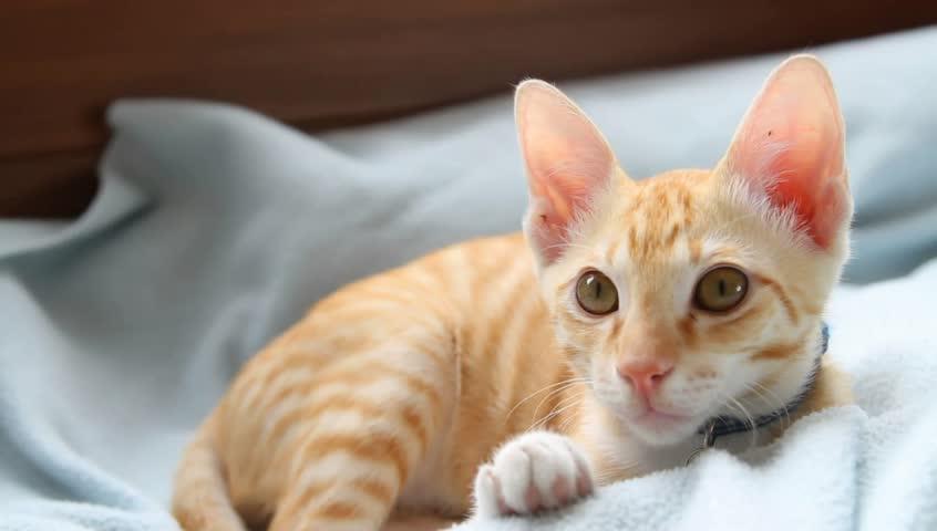 A curious domestic cat - HD stock video clip