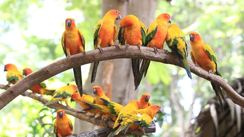 Cute Sun Conure parrot bird group on tree branch, HD Clip - HD stock ... Group Of Colorful Birds