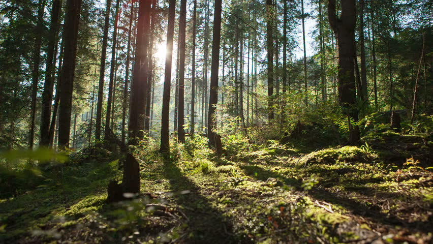 Sunlight rays in the forest. RAW video record.