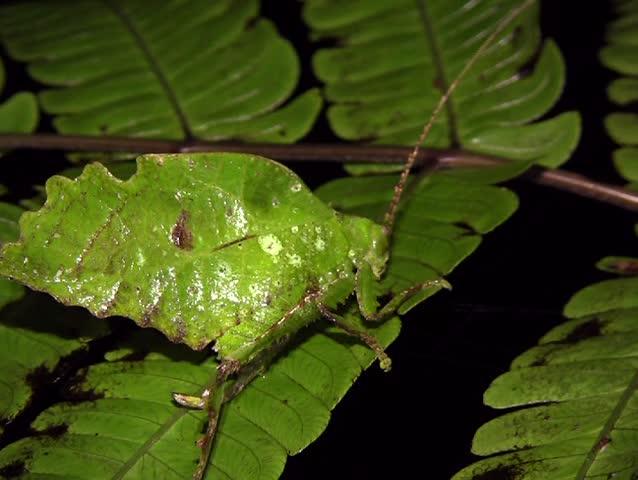 Leaf mimic katydid, in rainforest, Ecuador