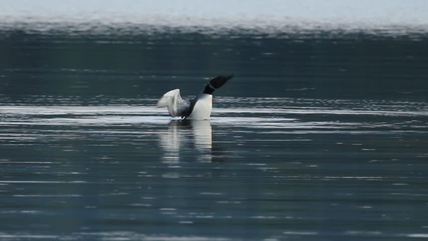 Loon rearing up and flapping its wings on a fresh water lake. Haliburton, Ontario, Canada.