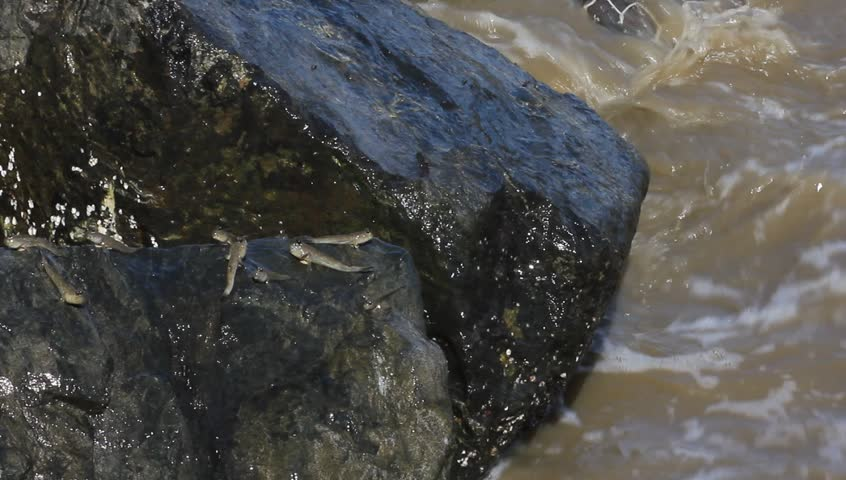 Mudskipper or Amphibious fish  - HD stock footage clip