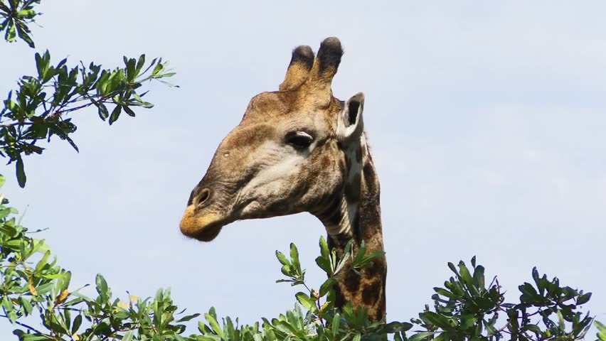 Giraffe staring at you