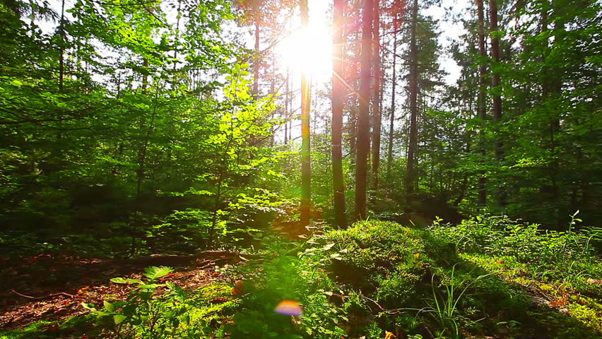 morning in the forest. the sun's rays pass through trees