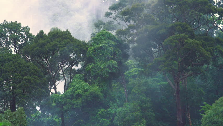 High humidity in jungle rainforest. Timelapse of moving clouds and fog among trees