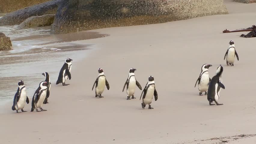 Group of Penguins at the beach
