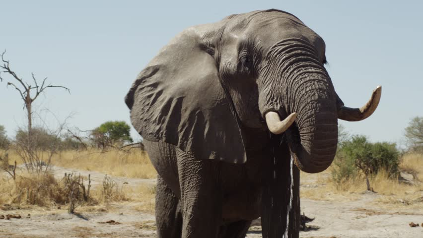 4K - African Elephant - slow motion close up, flapping ears and drinking, turns side to camera