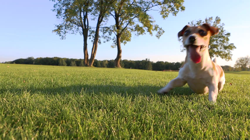 Agitated young healthy active dog dance on a green field with trees. Cute Jack Russell Terriers best dogs! - HD stock video clip