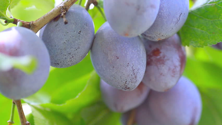 Plums hanging on a branch of plum tree.