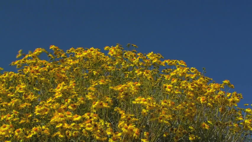 Bright, yellow brittlebush, daisy family,blooms in spring, blows gently in wind against bright, blue sky. 1920x1080 | Shutterstock HD Video #731287