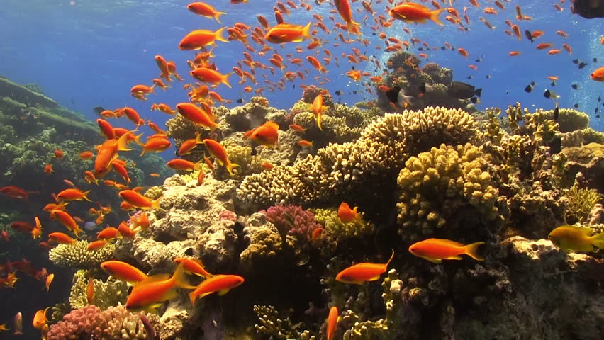Colorful Fish on Vibrant Coral Reef, Red sea | Shutterstock HD Video #7333939