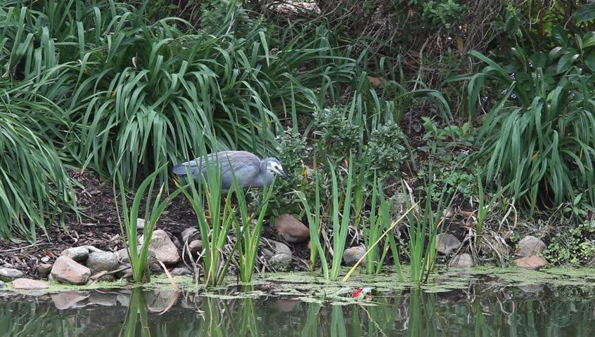 bird fishing,1080,16-9 anamorphic widescreen - HD stock footage clip