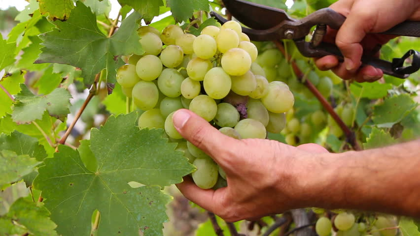Closeup on bunch of grapes being cut from row - HD stock footage clip
