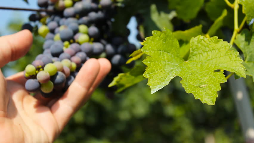 winegrower holding grape in the vineyard - HD stock video clip