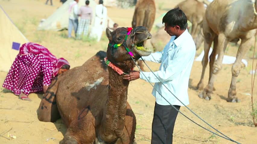 PUSHKAR, INDIA - NOVEMBER 21, 2012: Hundreds of camels and teamsters at Pushkar Camel Mela (Pushkar Camel Fair) on November 21, 2012 in Pushkar, Rajasthan, India. - HD stock footage clip