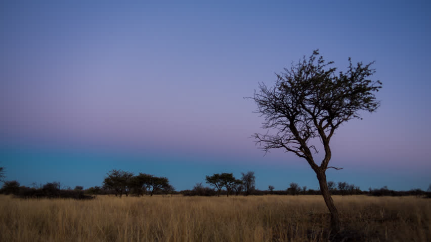 A scenic static sunset / day to night timelapse transition of an Acacia tree with the Milky Way twisting through a dark landscape scene and the moon rises to light up the landscape. 4K