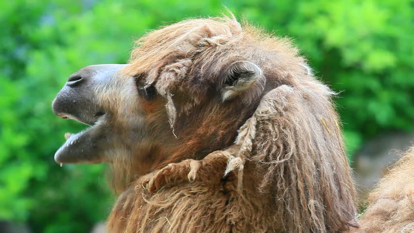 a look at two humped bactrian camel of central asia (which makes up 94% of the world's camel population), and the two-humped bactrian inhabits central asia bactrian and dromedary camels, has one hump.