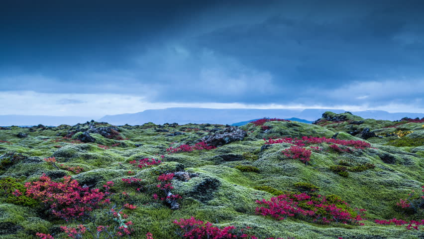 Clouds moving over moss covered volcanic lava rock, red leaves, Iceland 4k