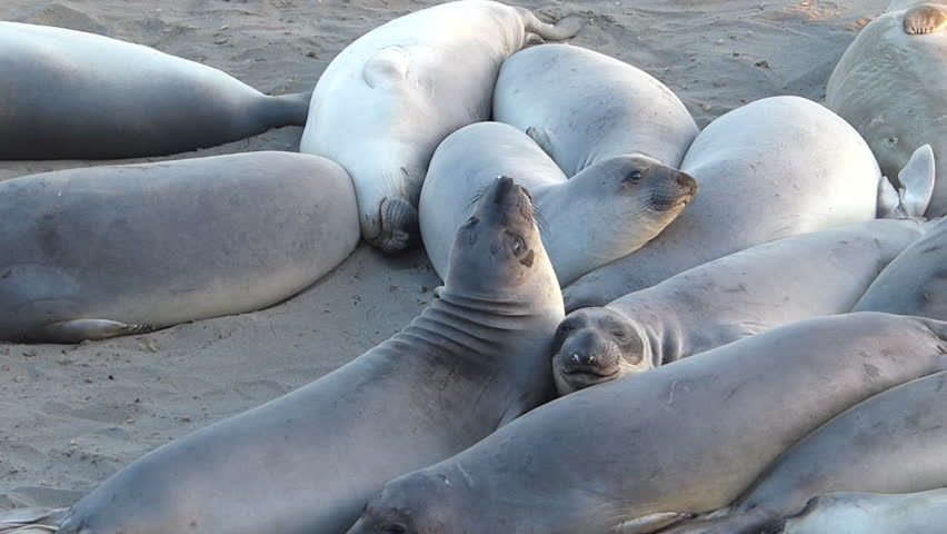 Elephant Seals fight for position at the San Simeon Elephant Seal Rookery on the Central Coast of California, USA.