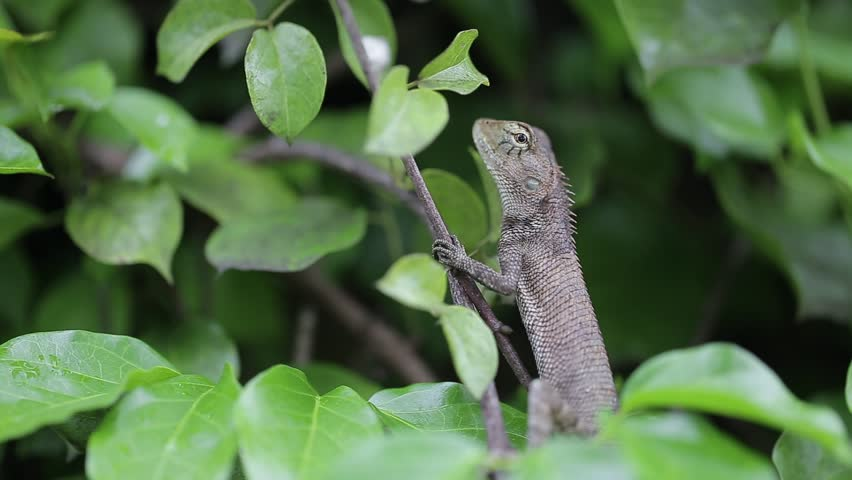 Lizard standing on the tree and fill in the eyes, Thailand - HD stock video clip