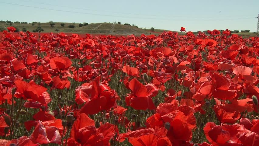 poppy field - HD stock footage clip