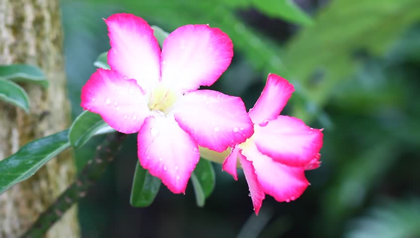 Header of Adenium