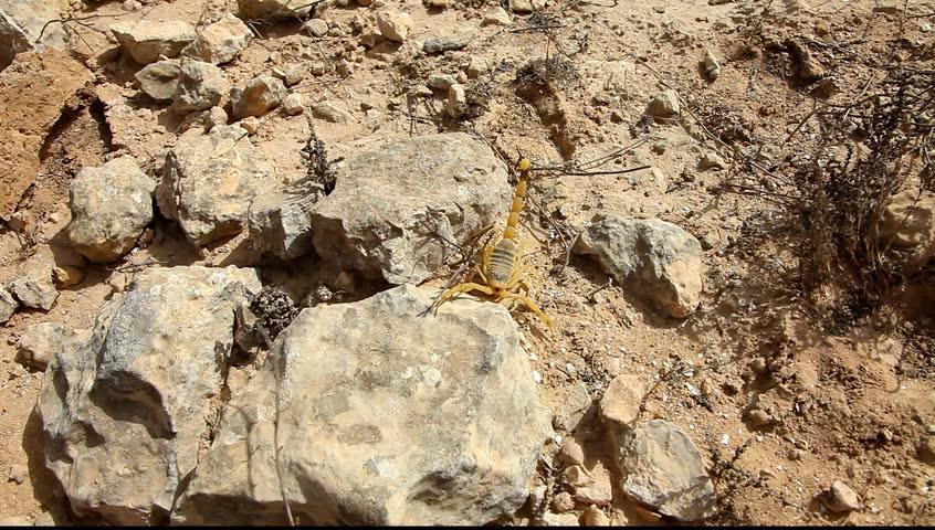 Yellow Scorpion. Close up. Negev desert, Israel  - HD stock footage clip