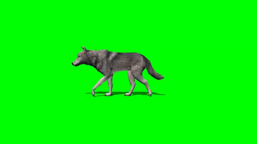 Wolf walks fast - with and without shadow - green screen | Shutterstock HD Video #7777819