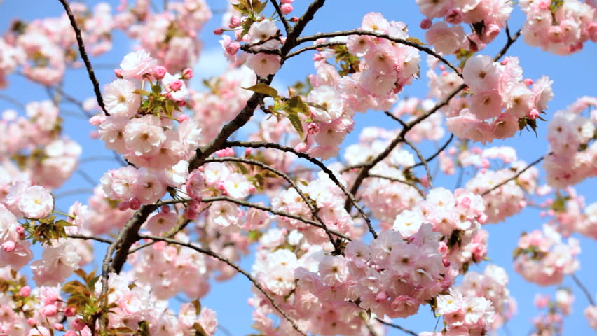 Cherry blossom flowers Japanese Sakura trees fruit Shinjuku Gyoen National Park nature Tokyo Asia Japan - HD stock footage clip