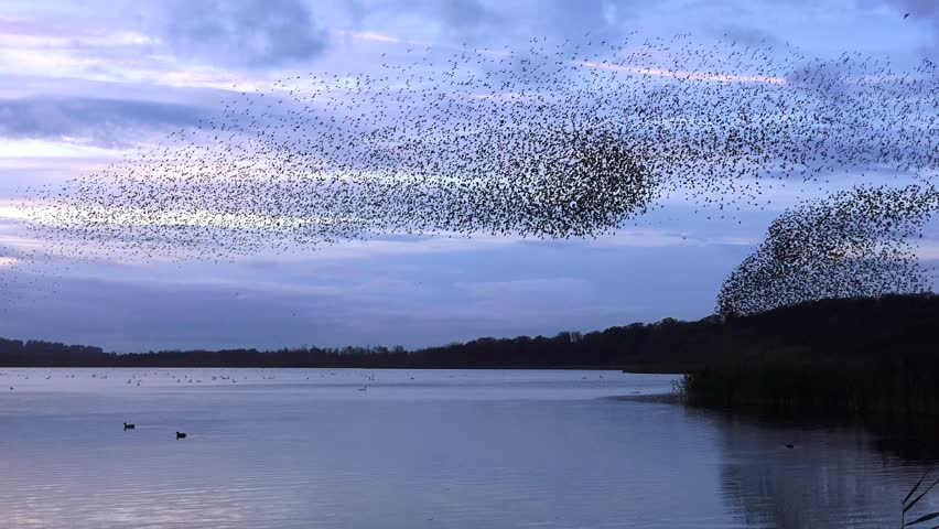 starlings flock together on lake at sunset nature background - Aqualate Mere, Staffordshire, England: November 2014 -  02666698