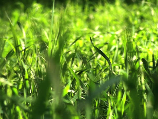 Grass swaying V1 - NTSC - SD stock footage clip