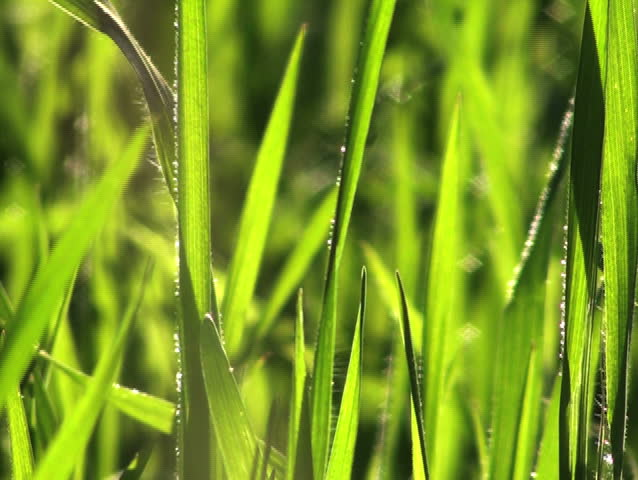 Grass swaying V3 - NTSC - SD stock footage clip