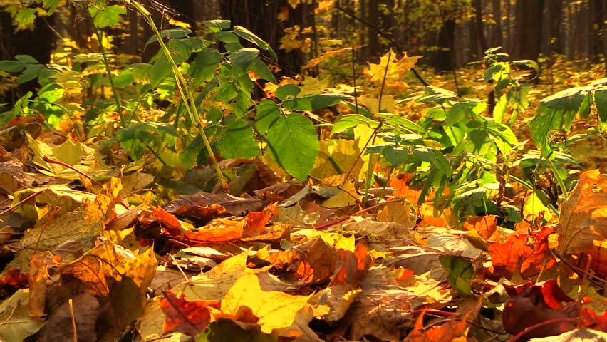 Colorful fallen leaves in the forest - HD stock footage clip