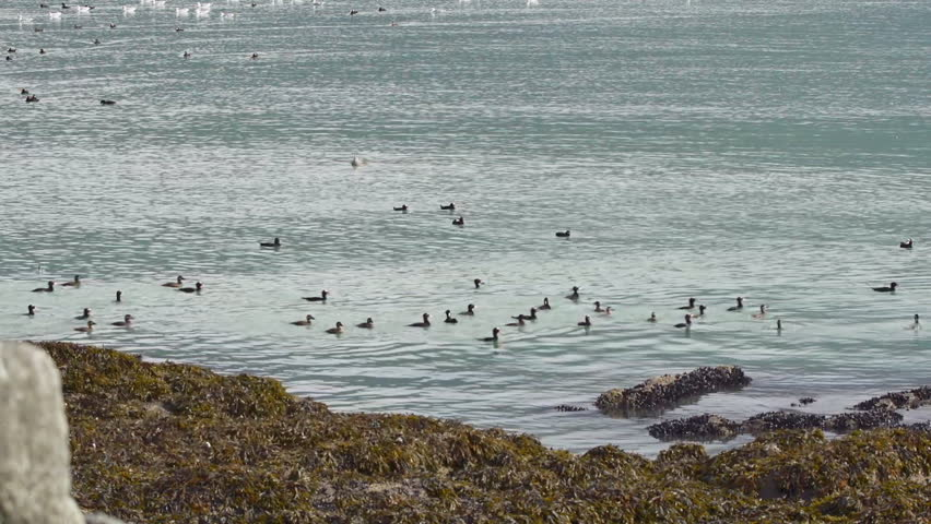 A flock of surf scoter ducks surfacing on calm waters after a dive - they just keep popping up! - HD stock footage clip