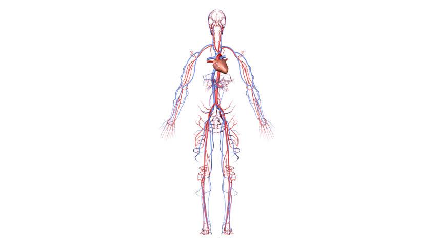 HD Circulatory System