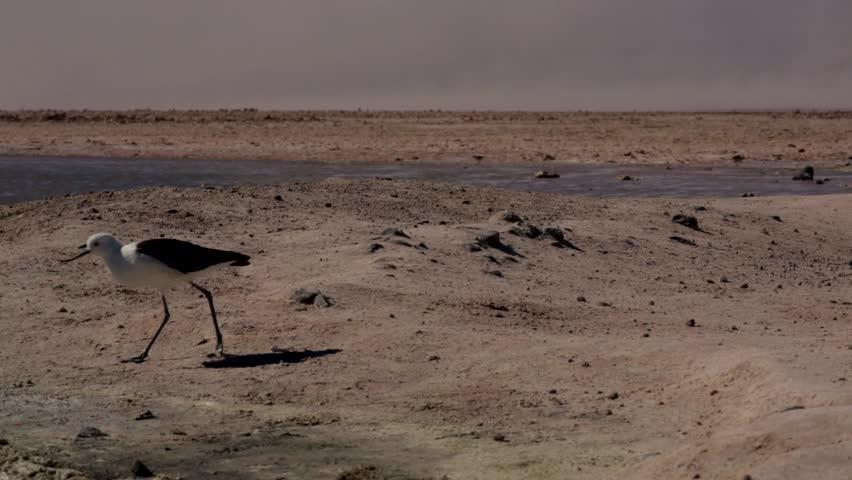 birds desert ostrich hd - photo #28