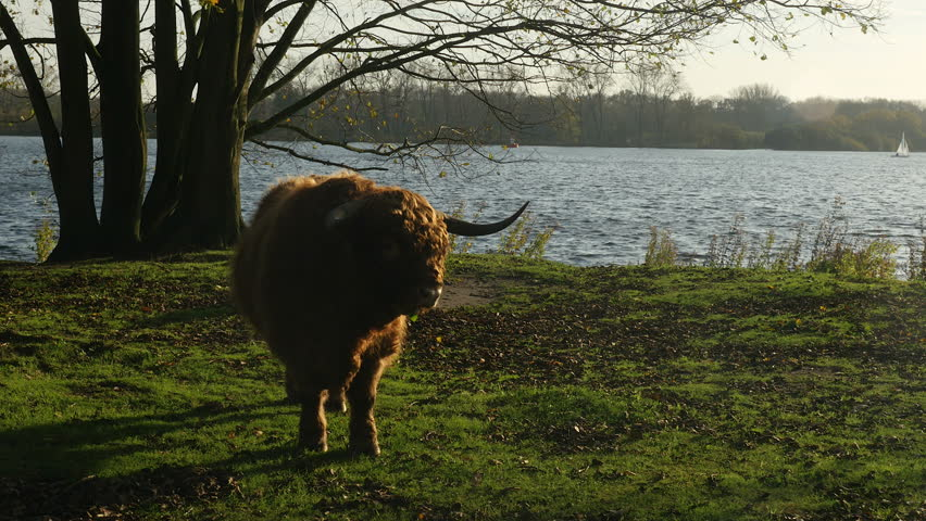 Bull with enormous horns stands in front of a lake at the end of a sunny day. - 4K stock footage clip