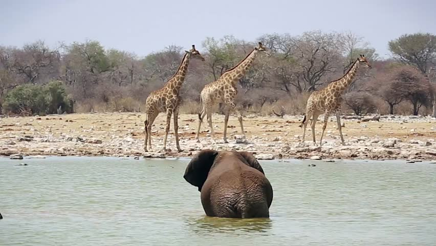 Endangered African Bush Elephant (Loxodonta africana) family playing in water at Etosha, Namibia, Africa. Cool off together & drink water in this oasis; watchful of Giraffes that have come to drink.