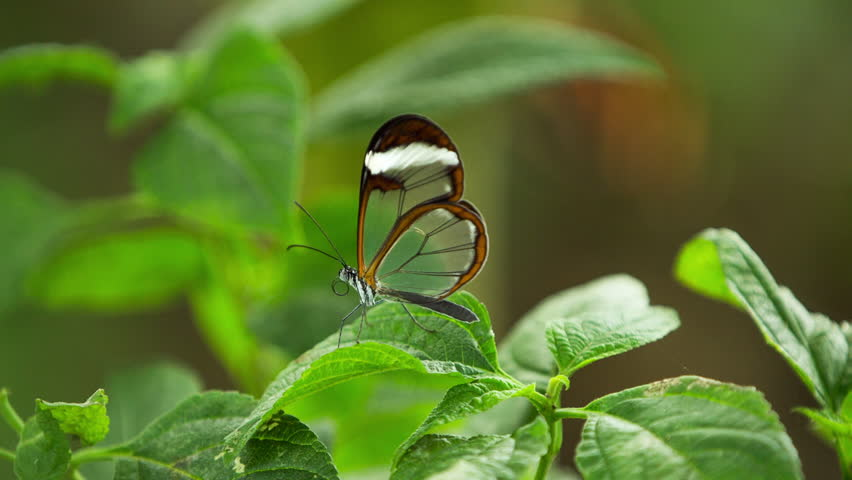beautiful glasswing butterflies filmed close up