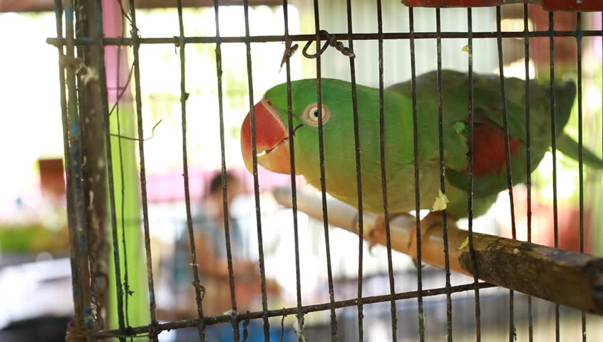 parrot - HD stock video clip