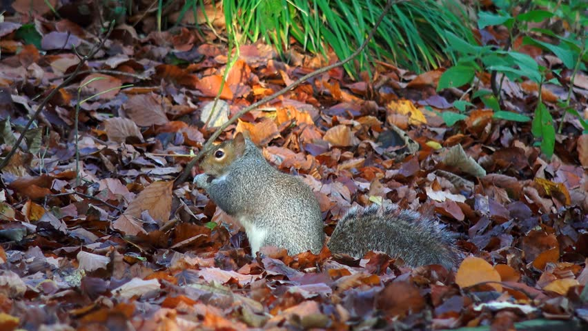 Autumn woodland grey squirrel eating nuts - England, November 2014 - 4K stock footage clip