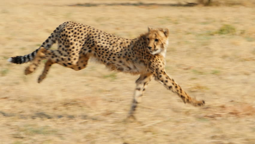 two cheetahs running in the wild bush savanna slow motion tracking shot