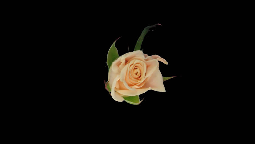"""Time-lapse of seemless rotating, opening and closing bone white """"Medeo"""" rose 2b1 in PNG+ format with alpha transparency channel, isolated on black, top view."""